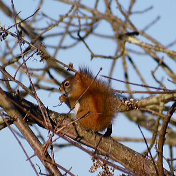 Red Squirrel Eating Berries in Winter
