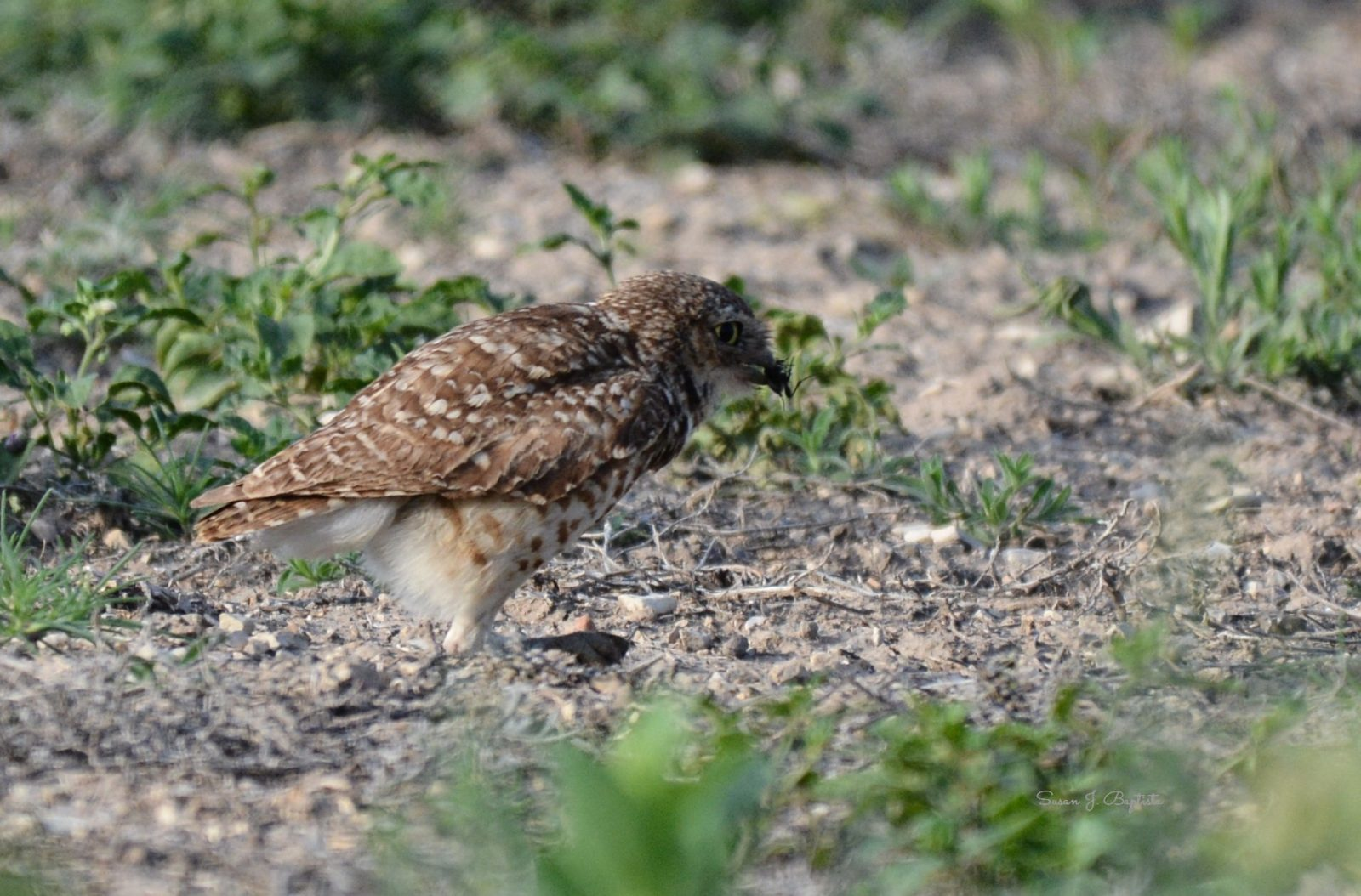 Burrowing Owl Meal Catch