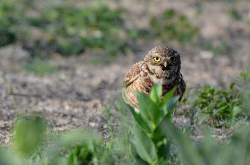 Burrowing Owl Parent With A Cricket