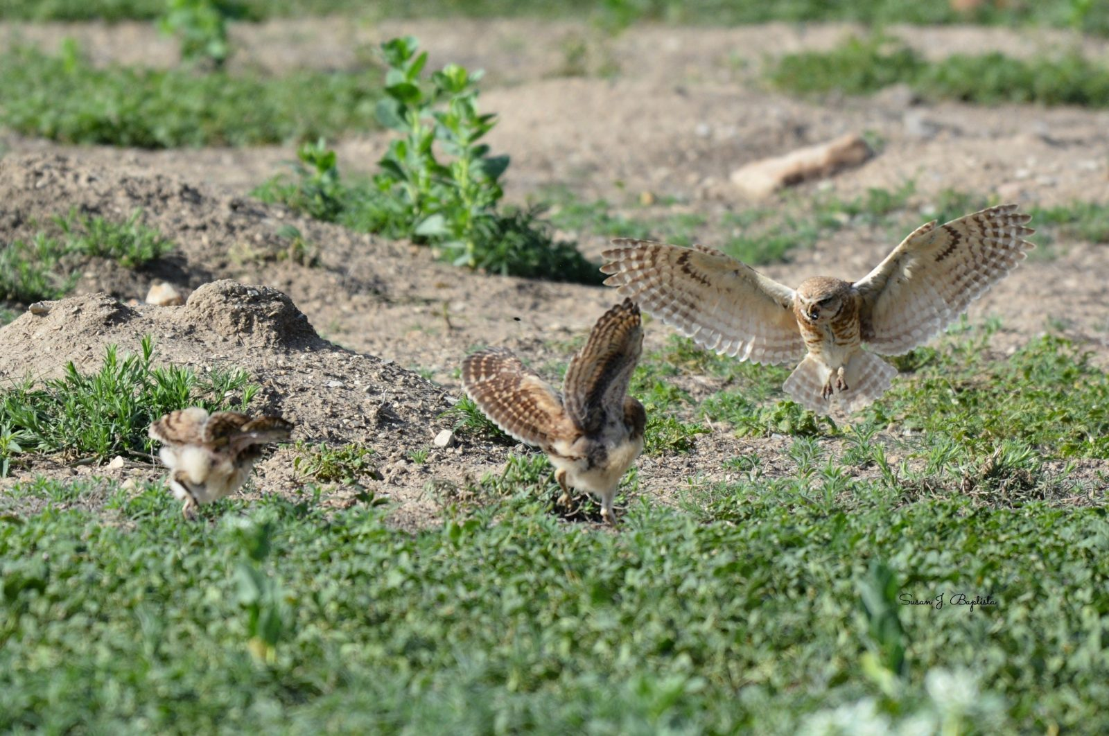 Burrowing Owl Bringing Food