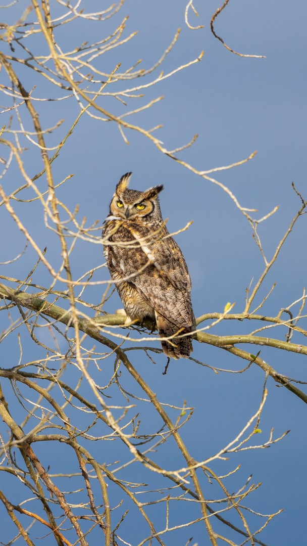 Great Horned Owl at Dawn