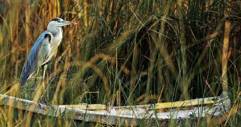 Great Grey Heron on a boat