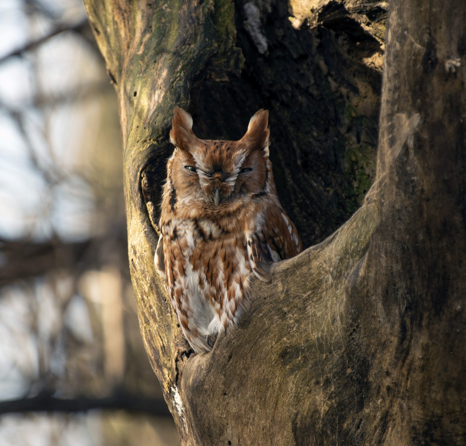 Red-Phase Eastern Screech Owl