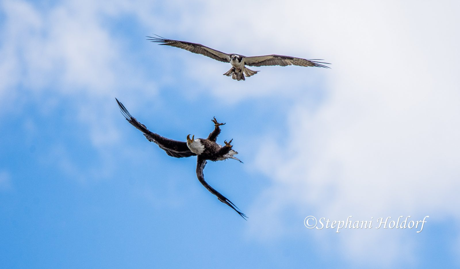 Osprey & Eagle fighting over the catch of the day