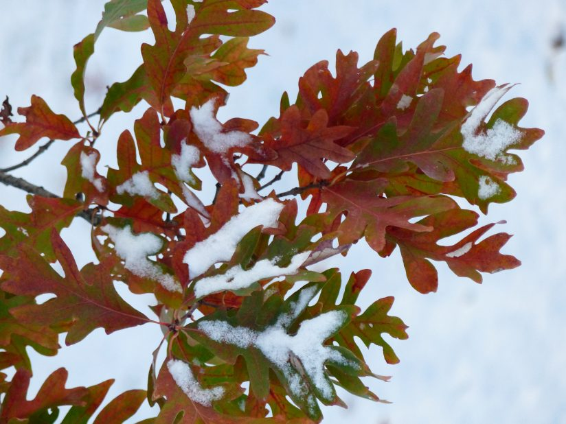 Oak leaves with snow