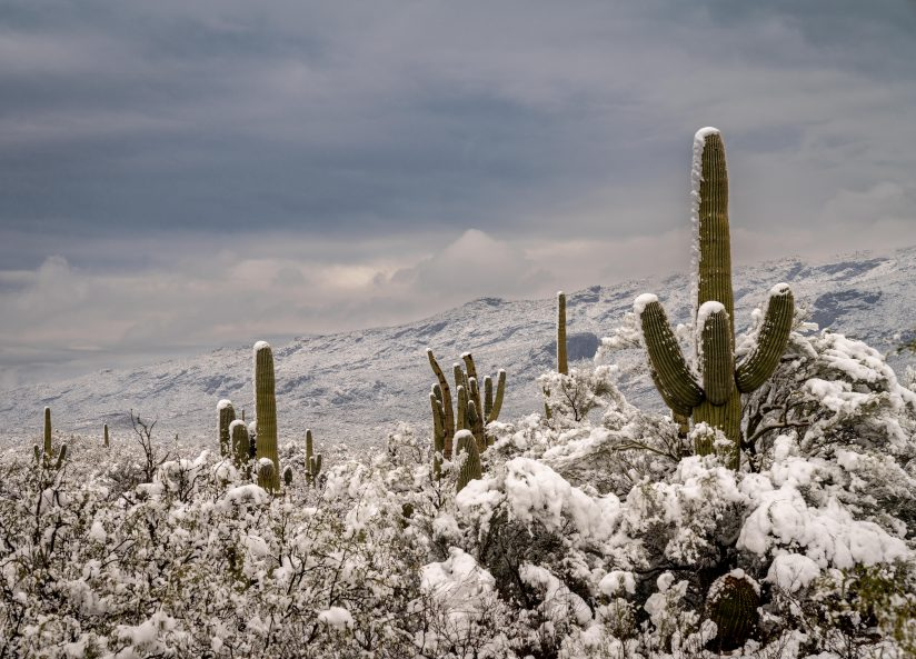 Saguaros in the Snow