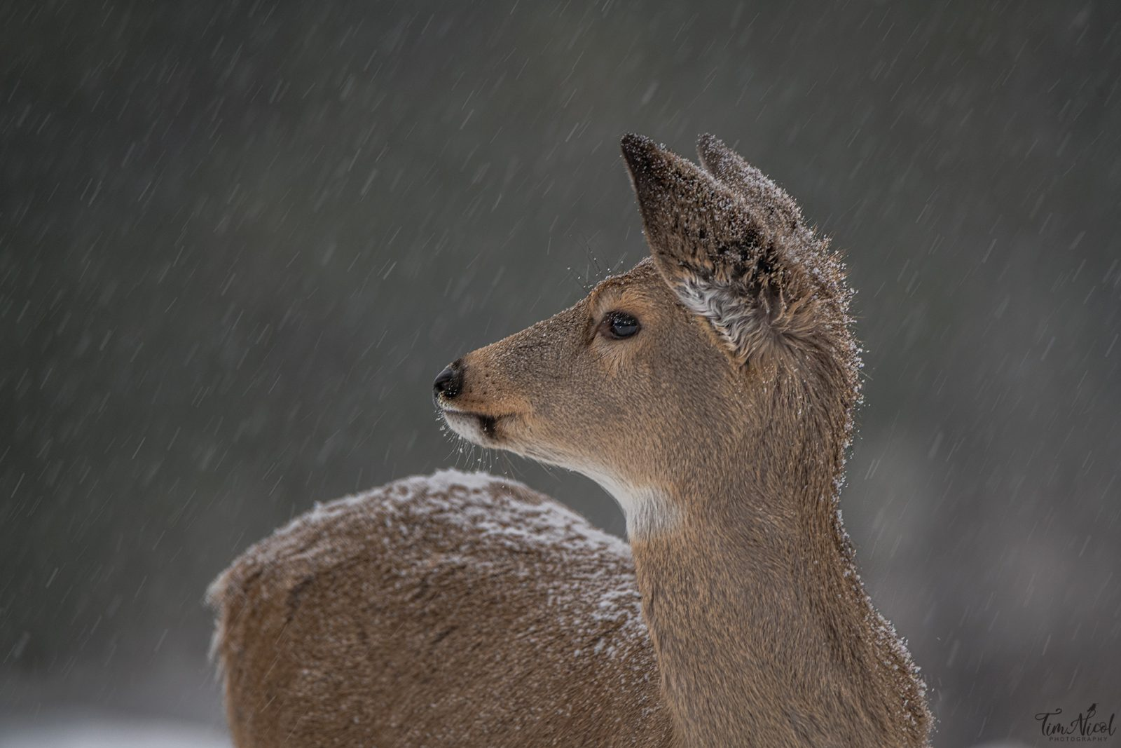 Fawn in the Snowfall