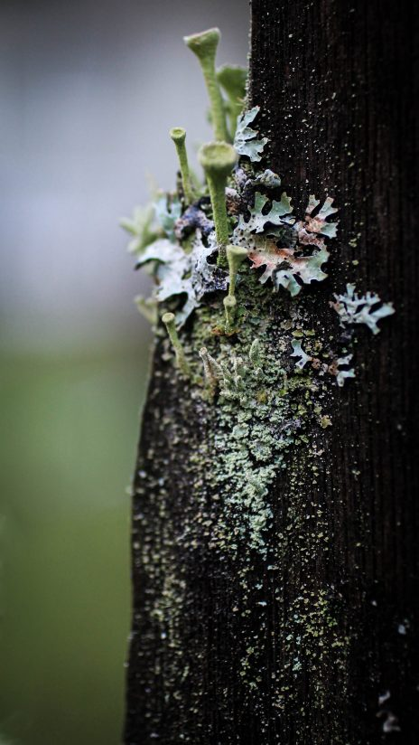 Winter Trumpet Lichen