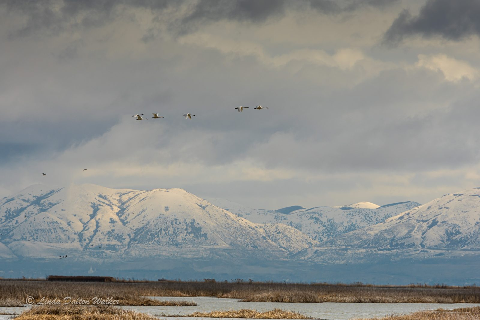 Bear River Migratory Bird Refuge, Utah with Snow Geese
