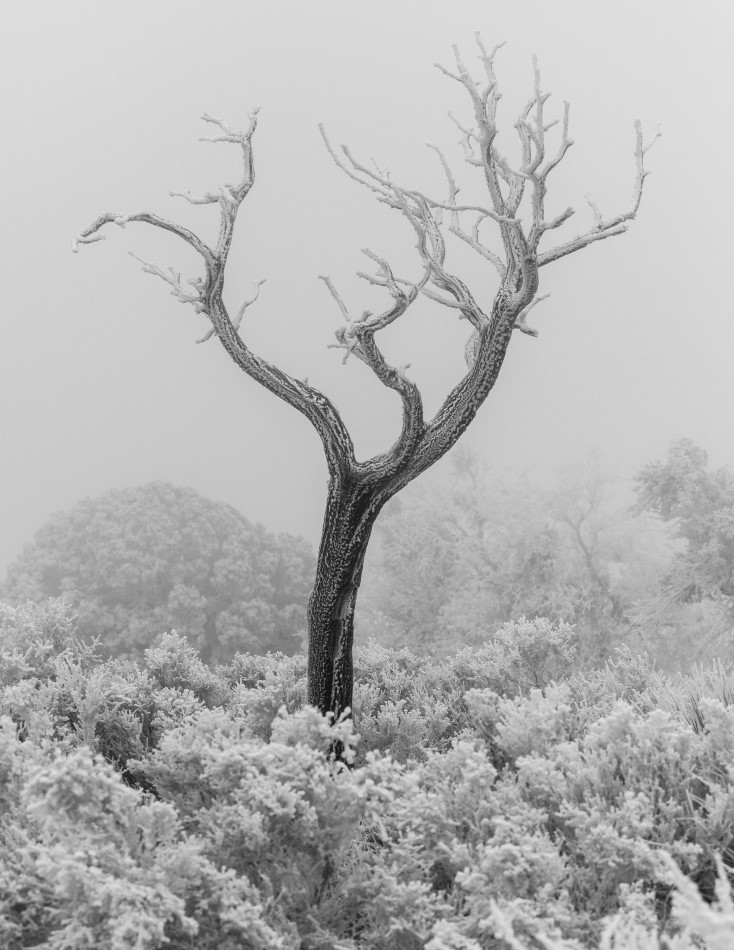 Tree in Fog and Ice