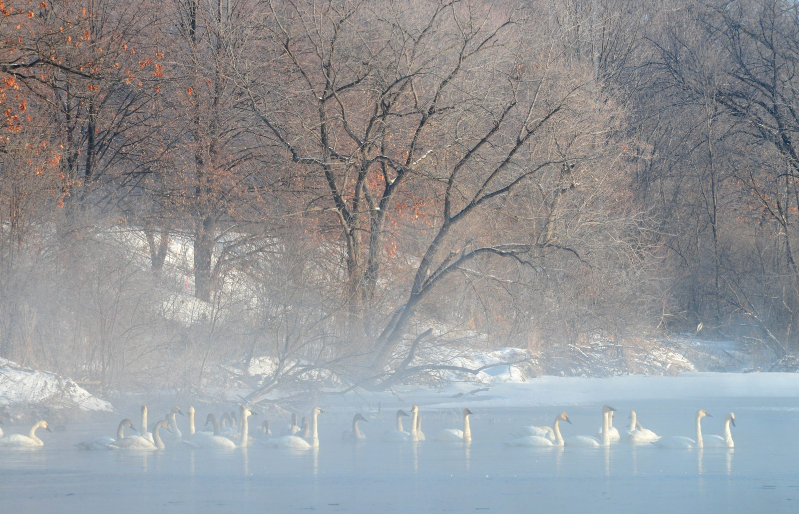 Swans on a Frosty Morning