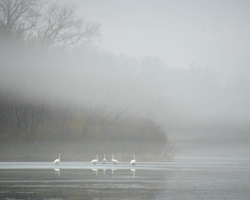 Swans under the Fog