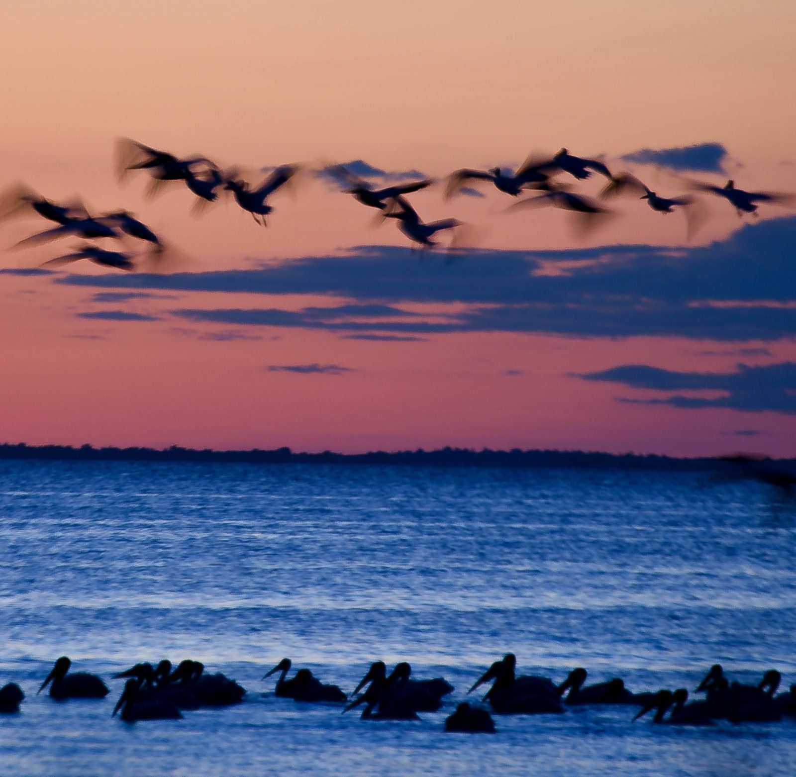 Pelicans on Lake Michigan
