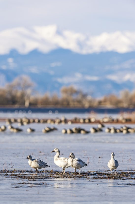 Snow Goose Hanging with Canada Geese