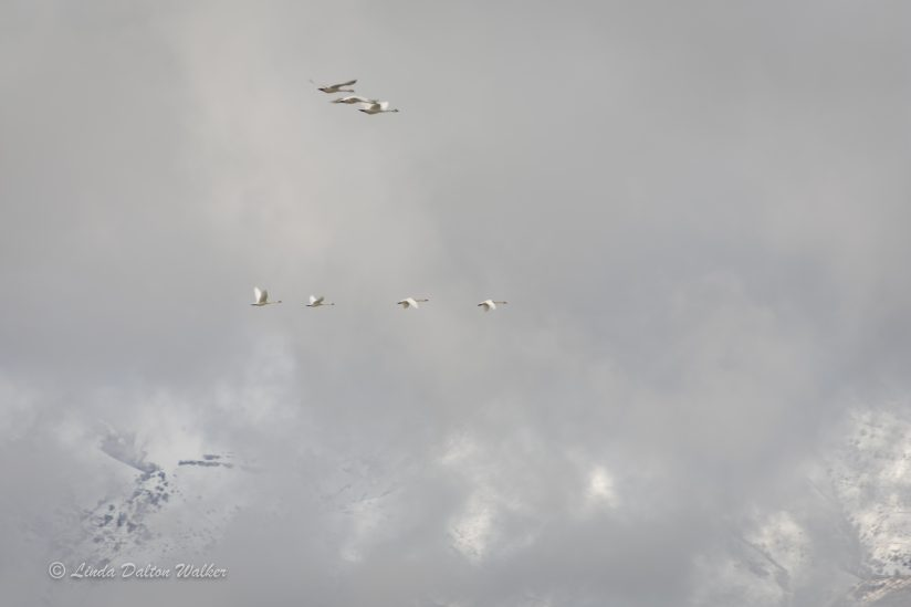 Tundra Swan – Flight