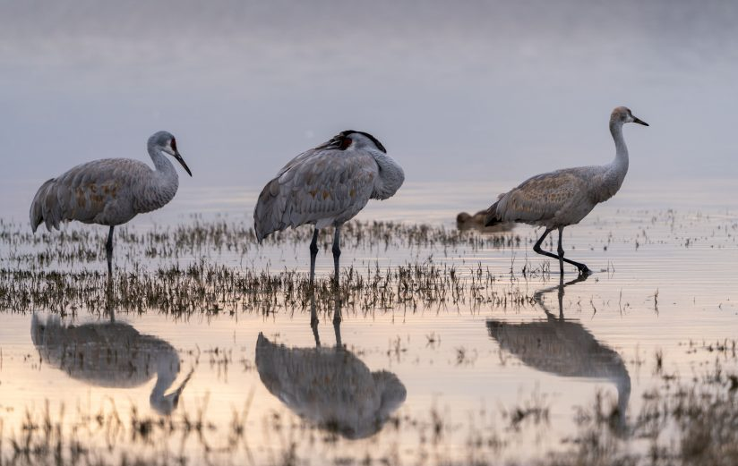 Sandhill Cranes and their reflections