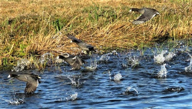 American Coots Take-off
