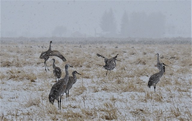 Sand hill Cranes feeding in the snow