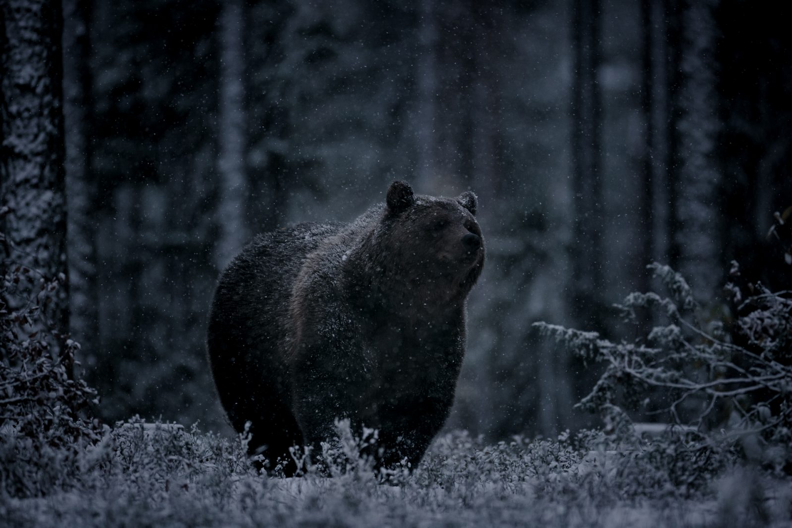 A Brown Bear and the First Snow of the Year