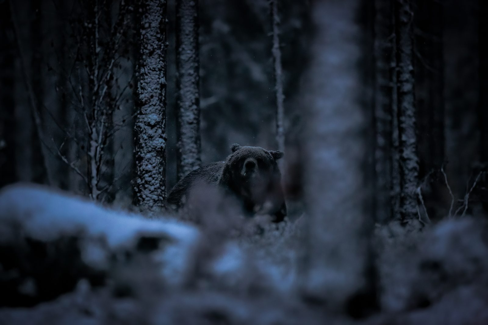 Brown Bear in a Dark Snowy Forest