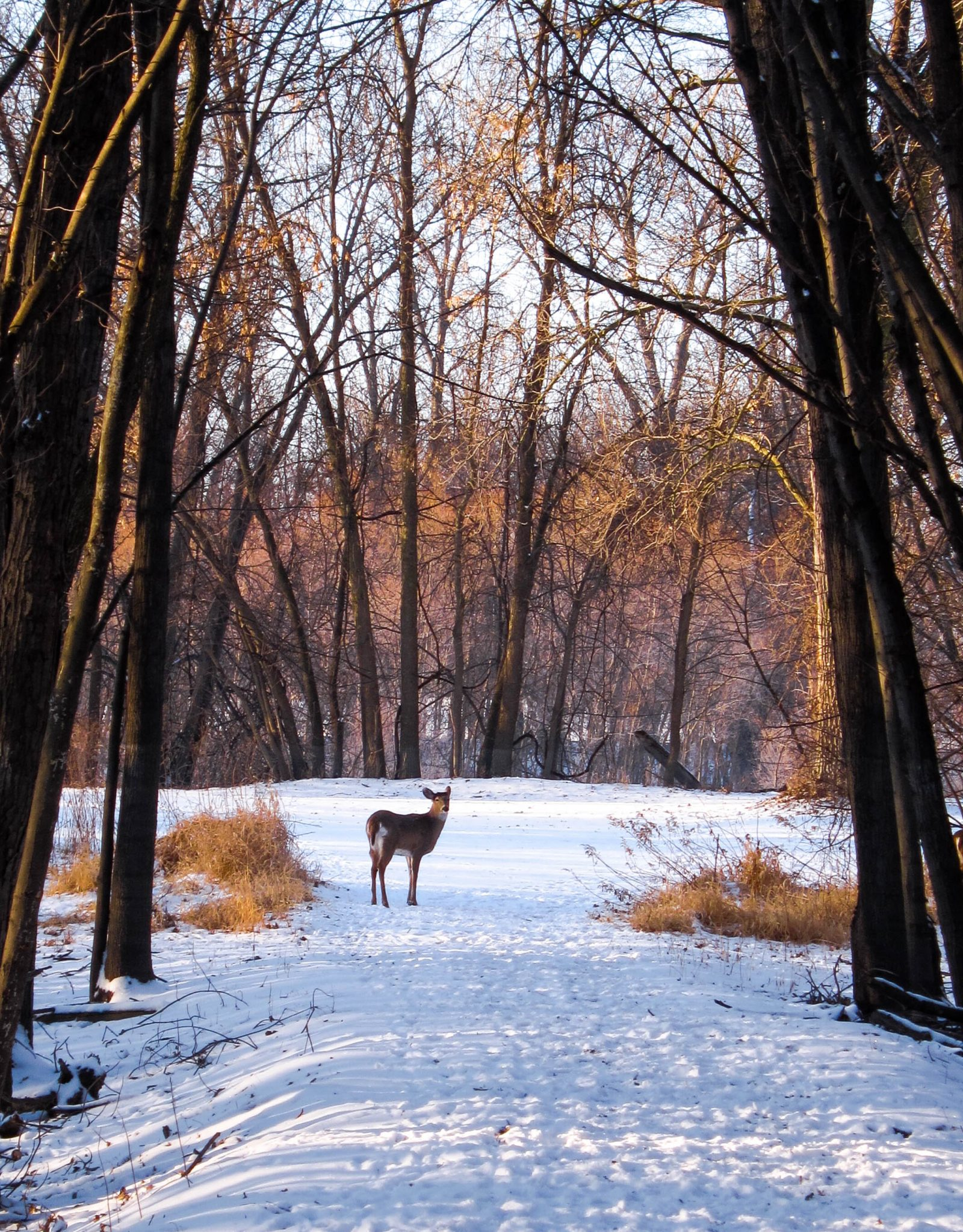 Deer in the Shadows