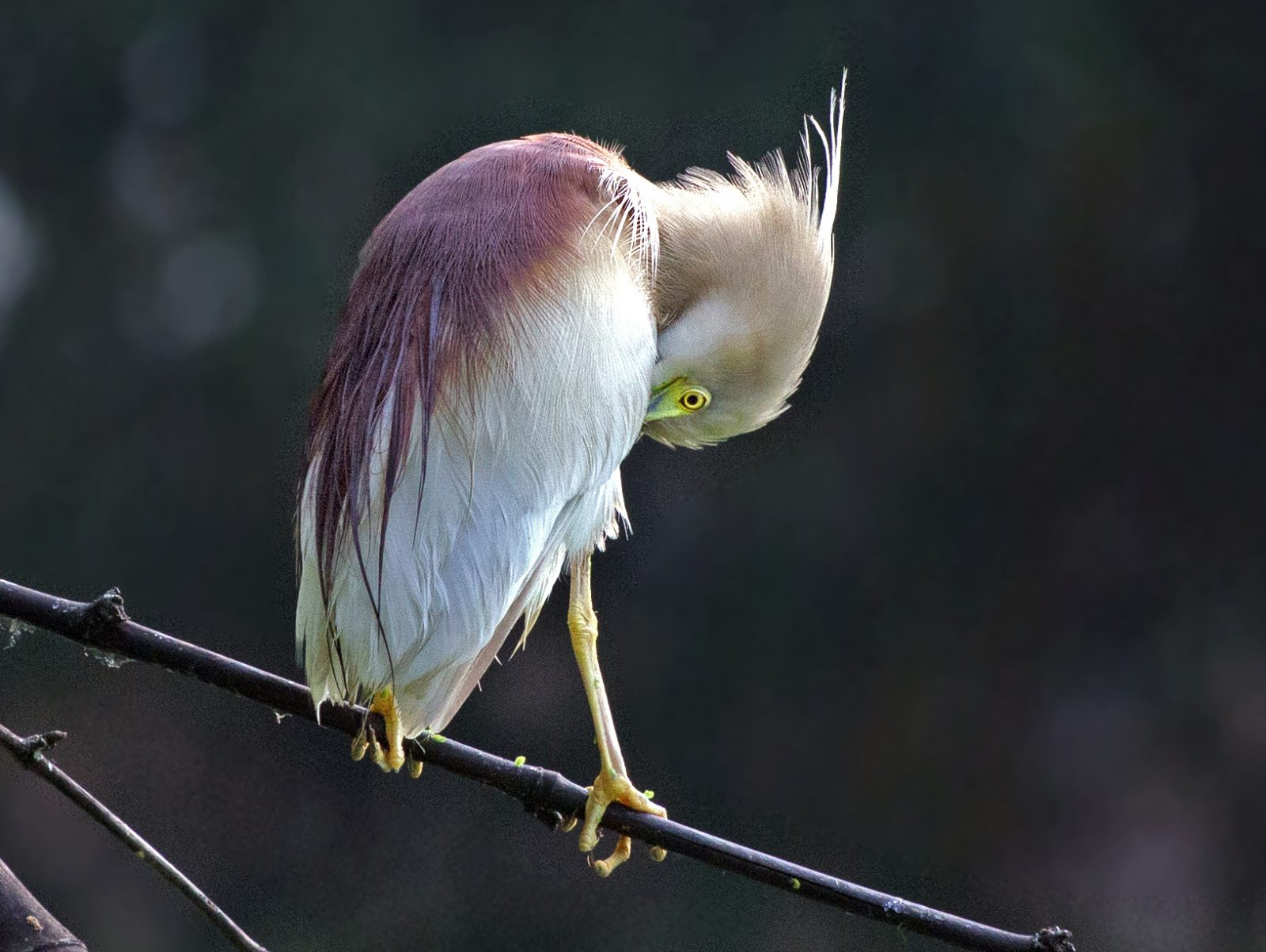 Indian Heron preening feathers