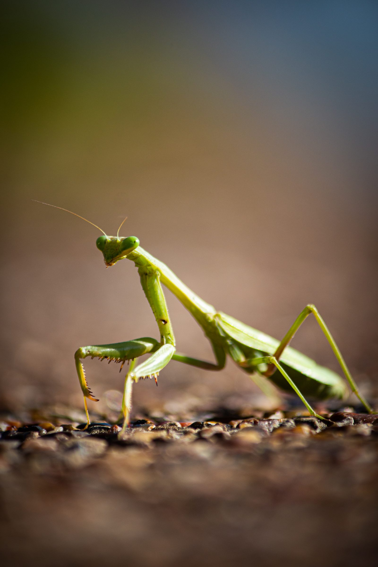 Praying Mantis Crossing the Road