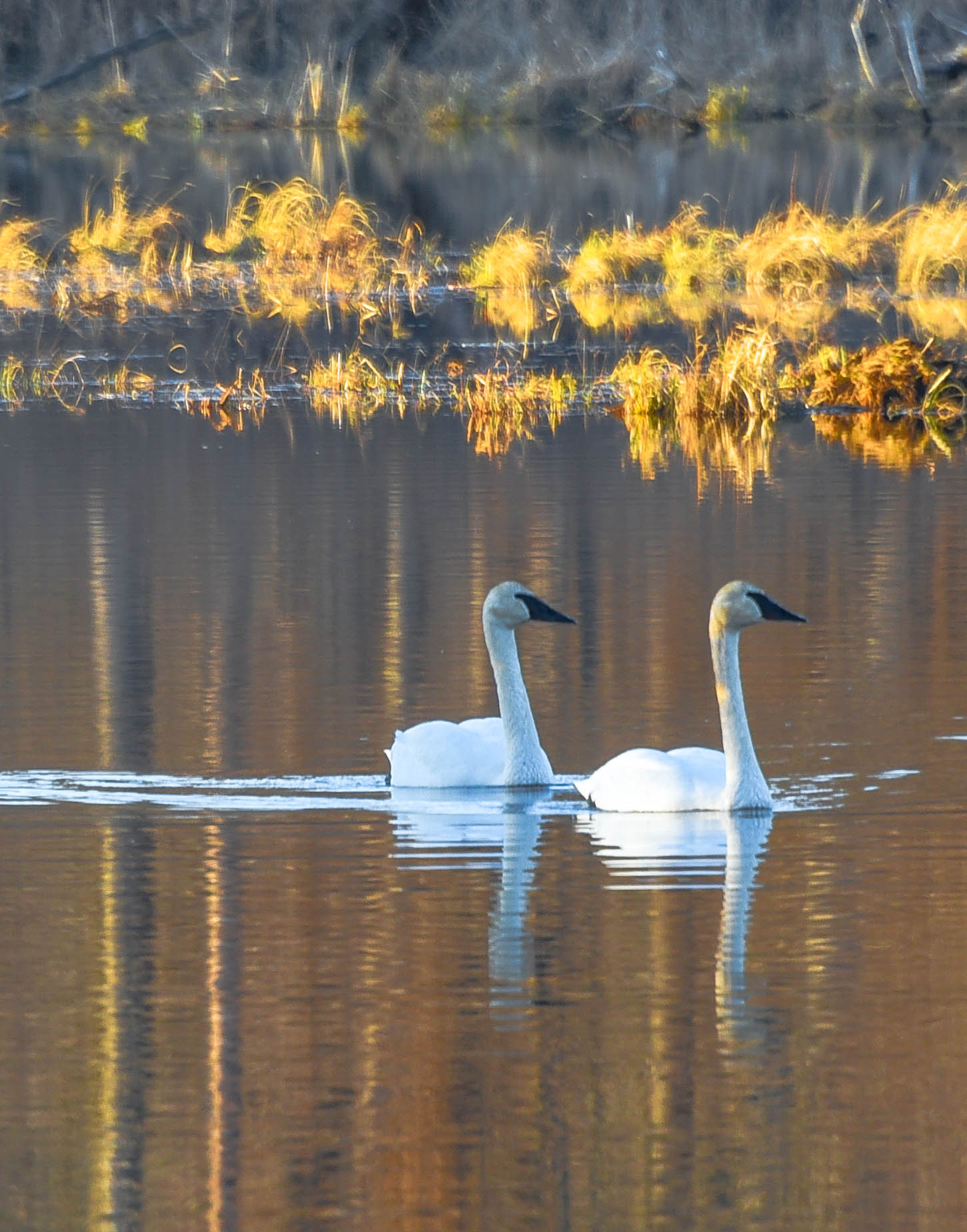 Swans in the Fall