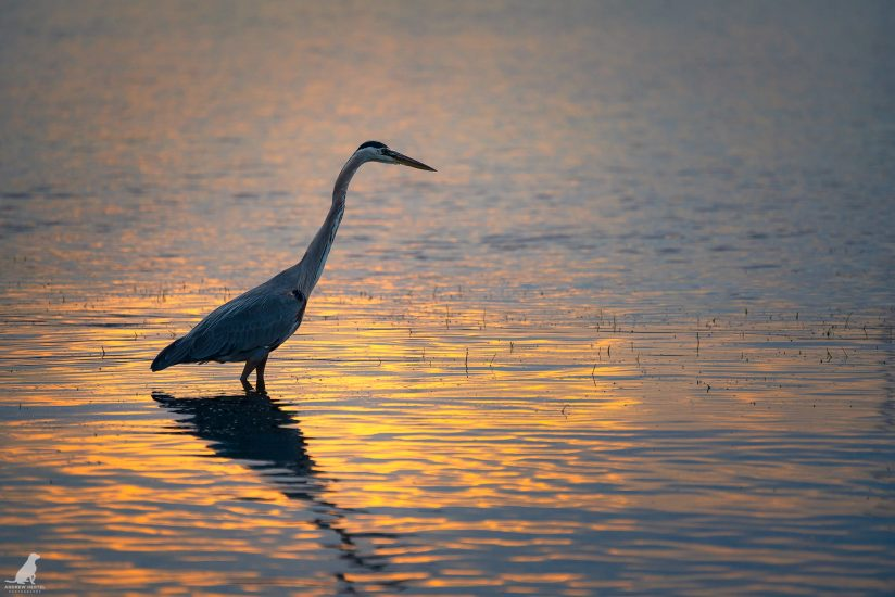 Great Blue Heron at Golden Hour