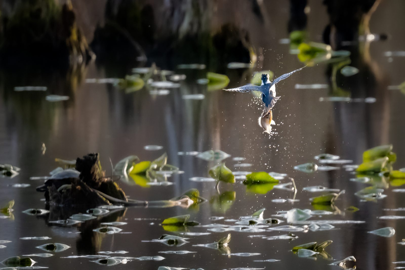 Fishing with a Kingfisher