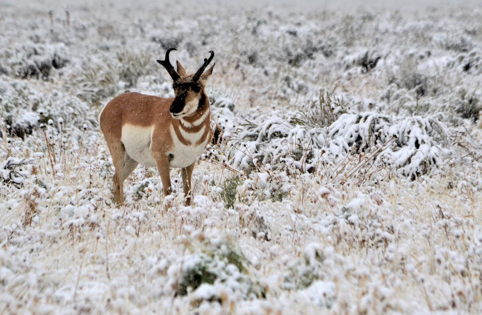 Pronghorn In A Snowstorm