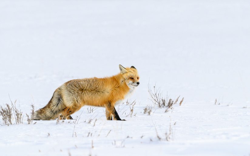 Red Fox Struggling In The Wind