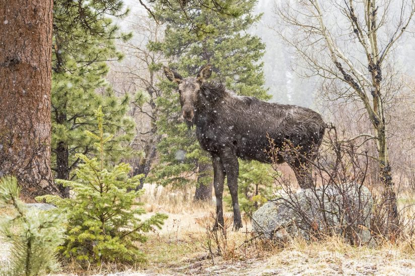Moose in the Spring Snow