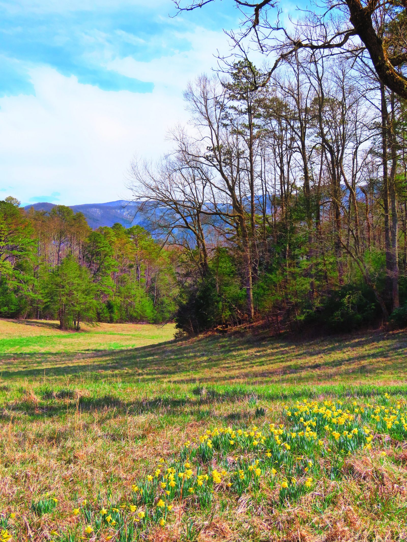 Daffodils and Snow in the Smokies