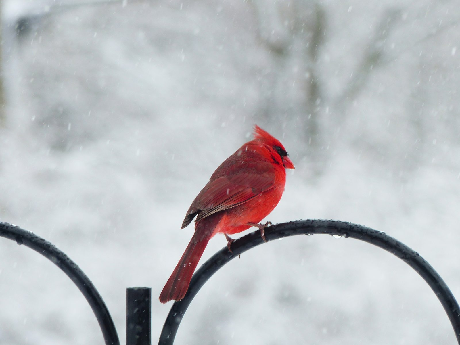 Snowy day (male cardinal)