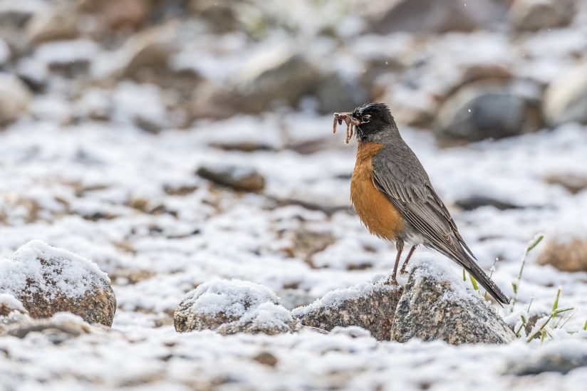 Robin and Worms