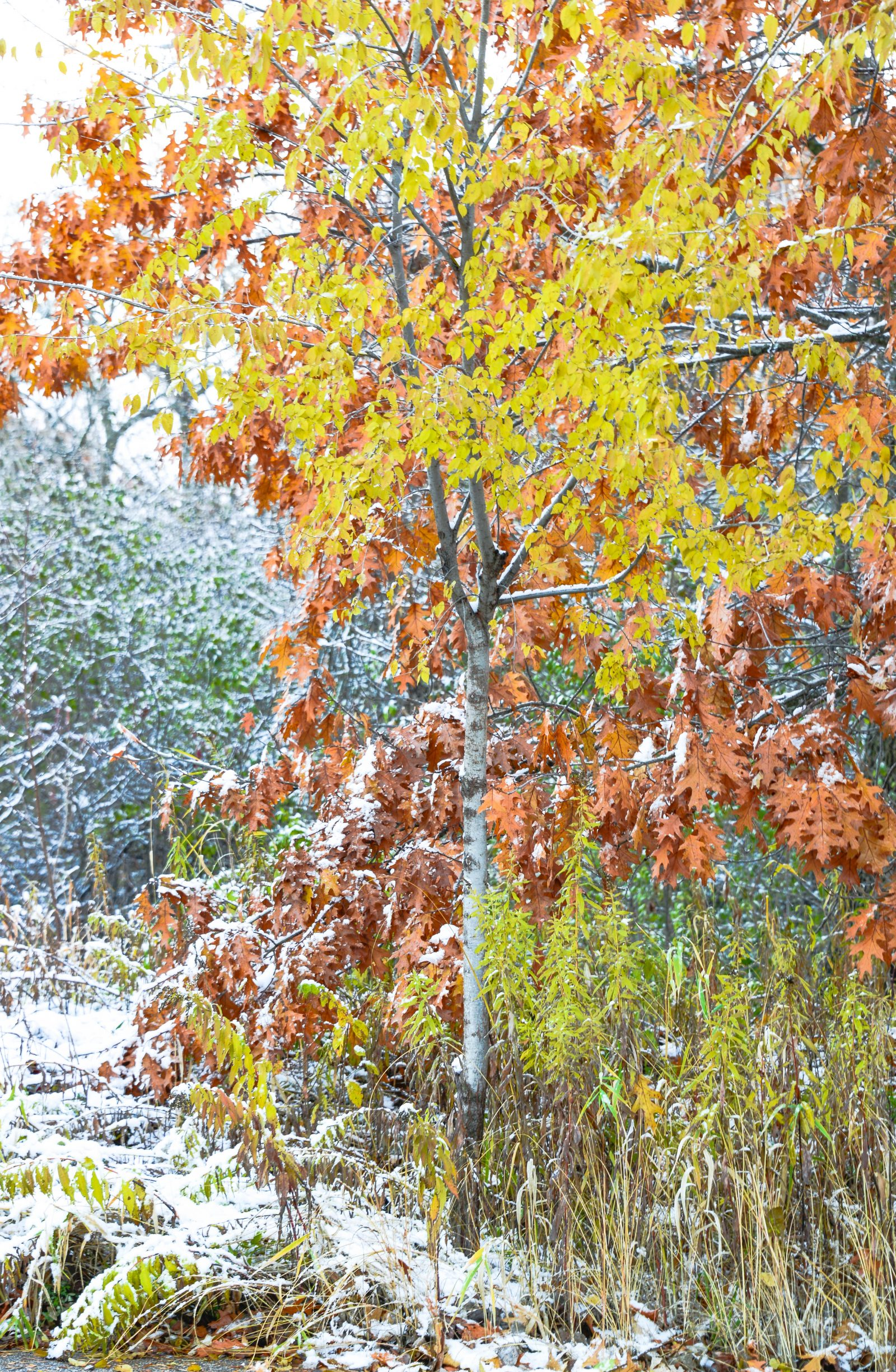 Snow Covered Fall Color