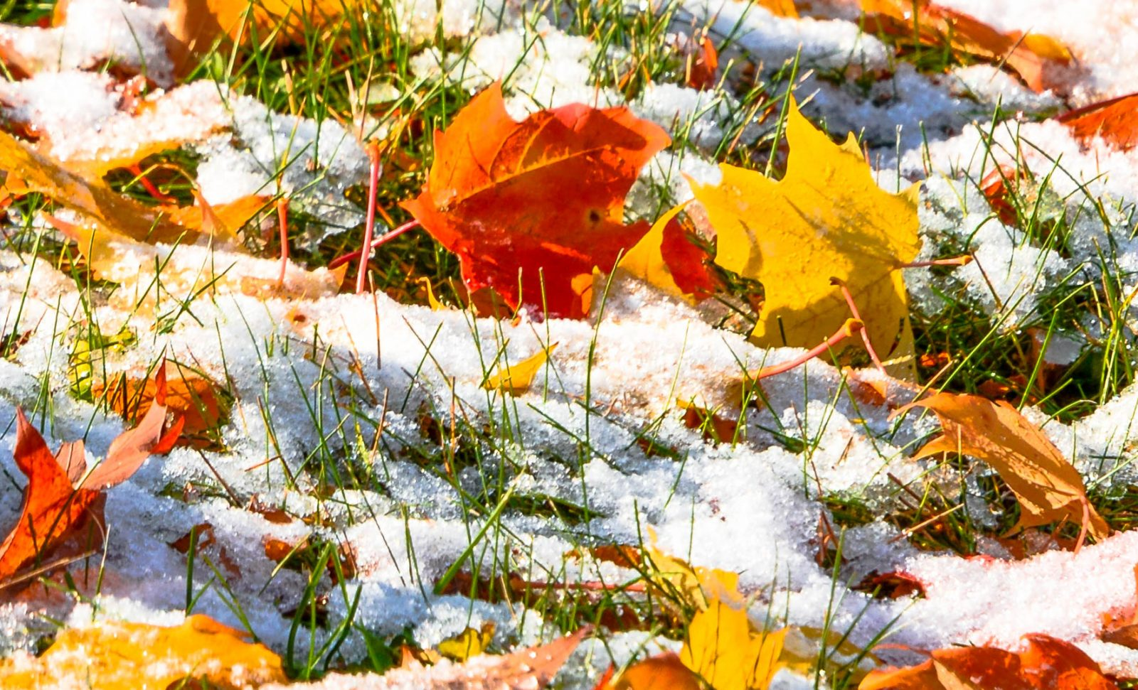 Fall Leaves After October Snow