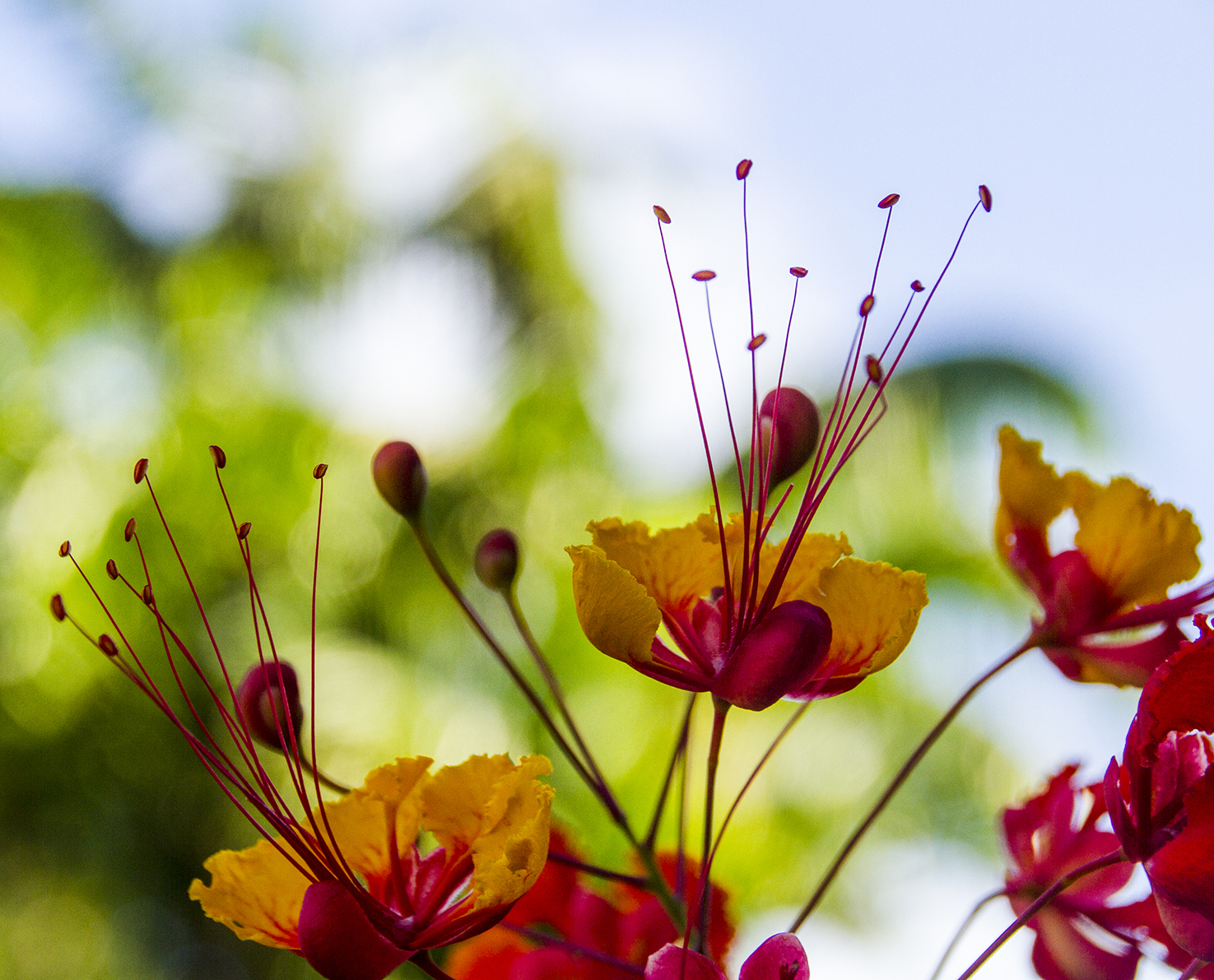 The flowers of the Flamboyan