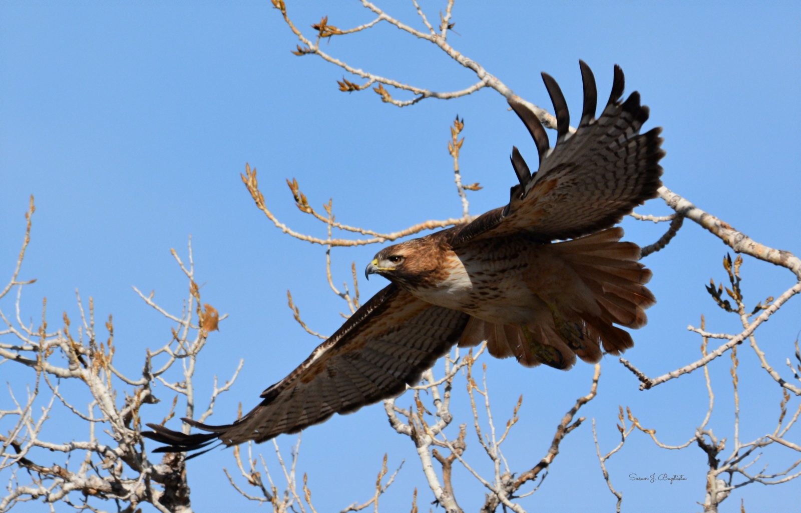 Red Tail In Flight
