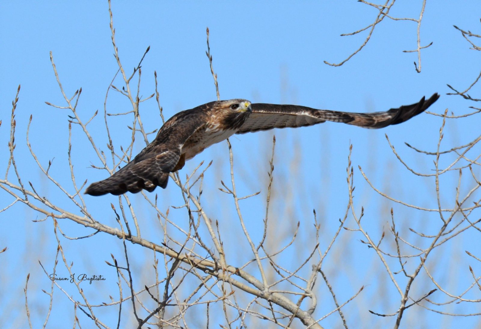 Soaring Red Tail