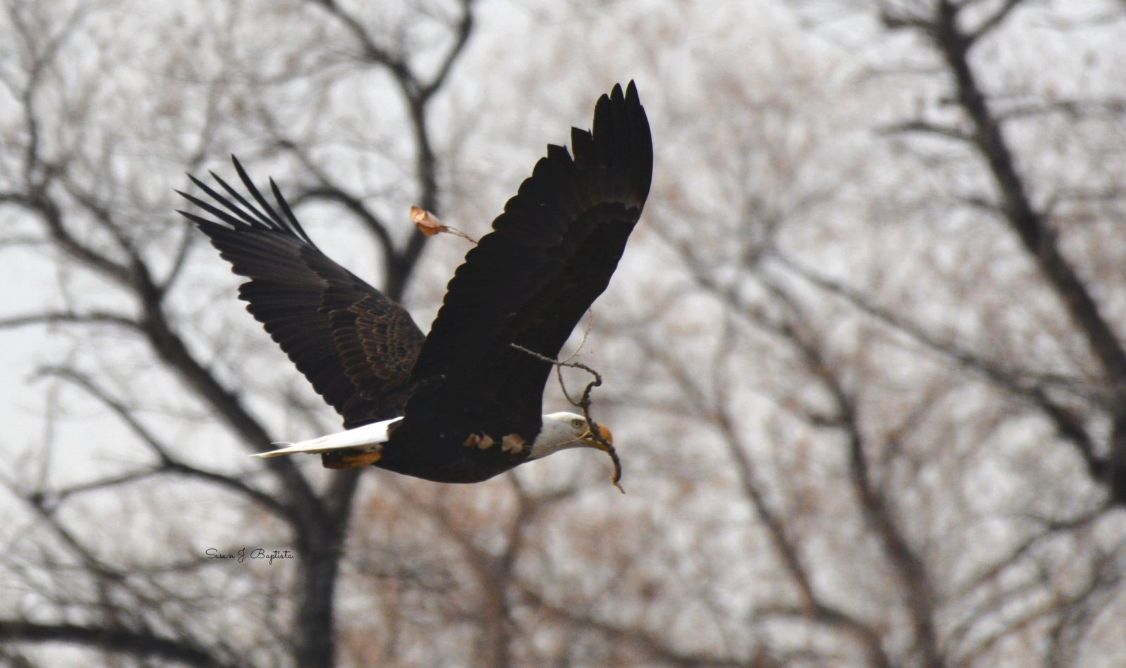 Eagle Carries Nest Material