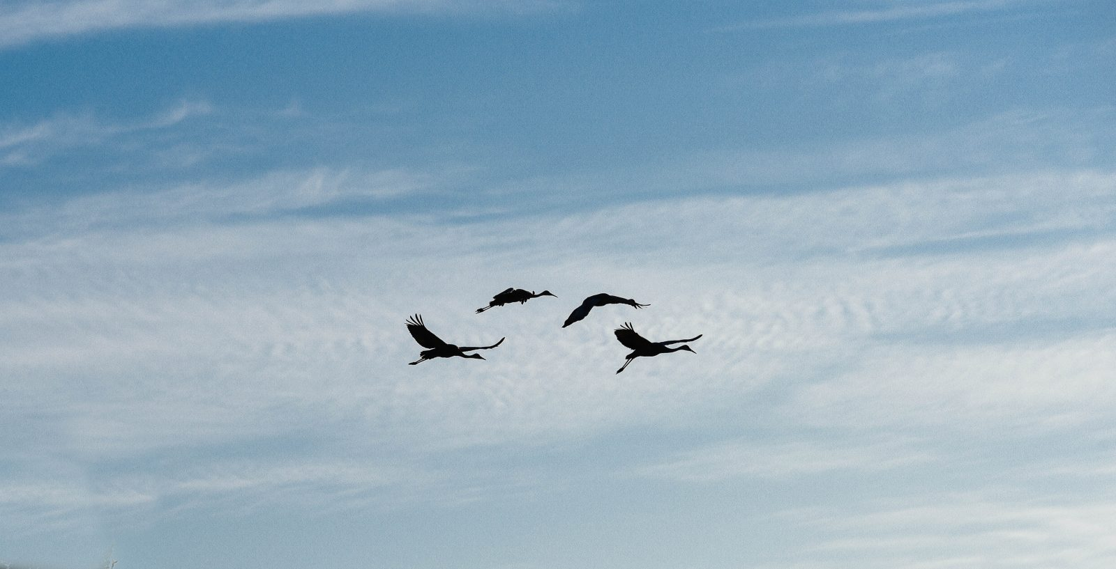 Flight of the Sandhill Cranes