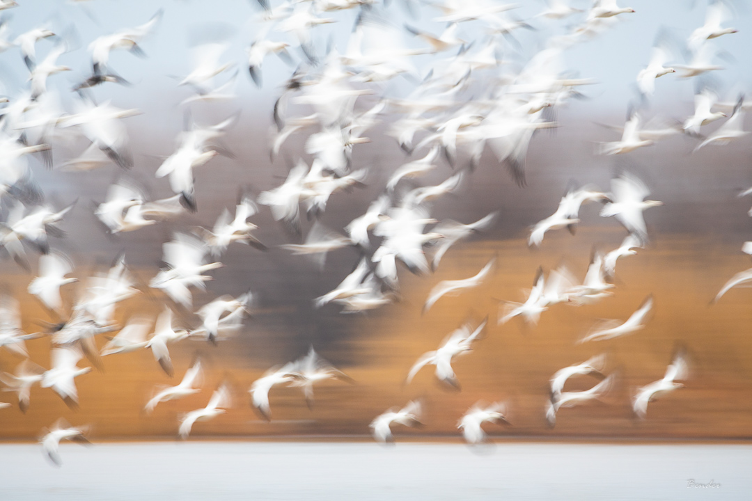 Snow Geese Abstract