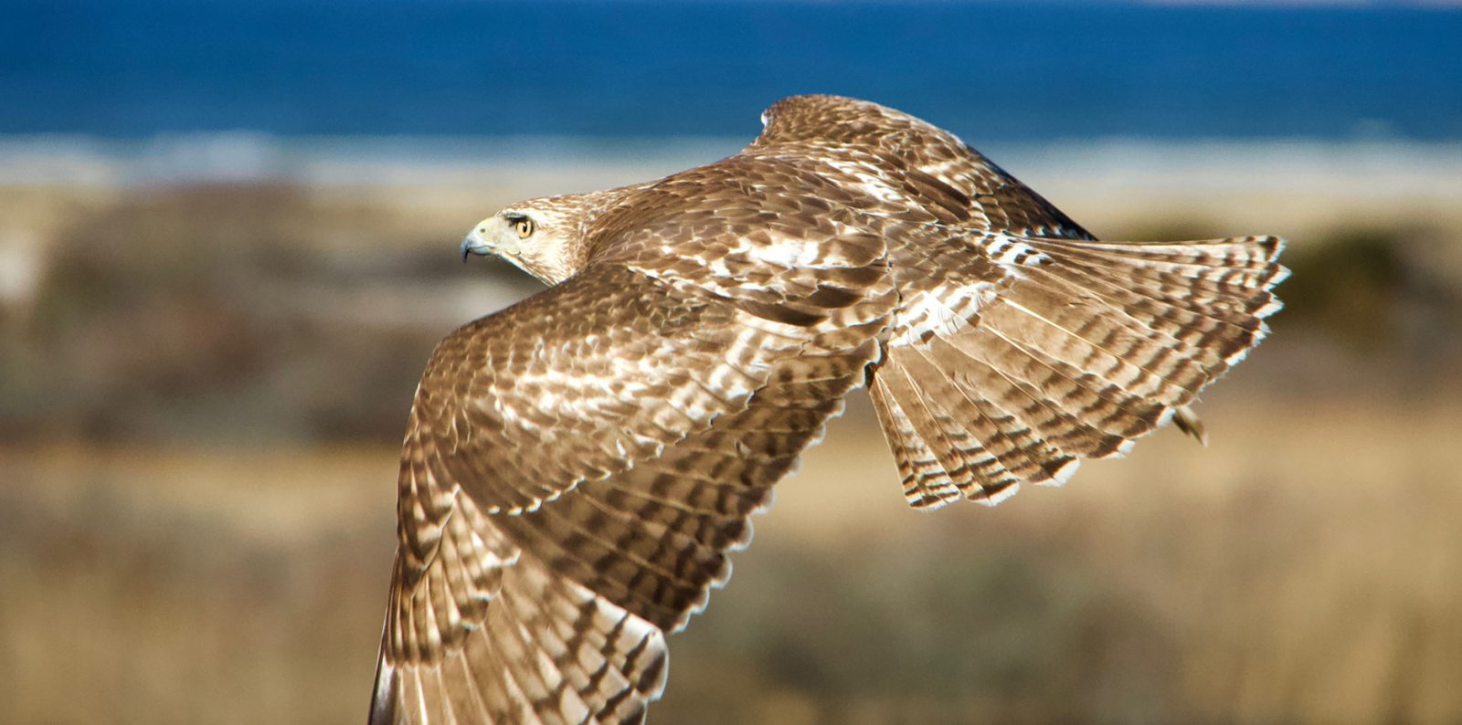Red Tailed Hawk Hunter