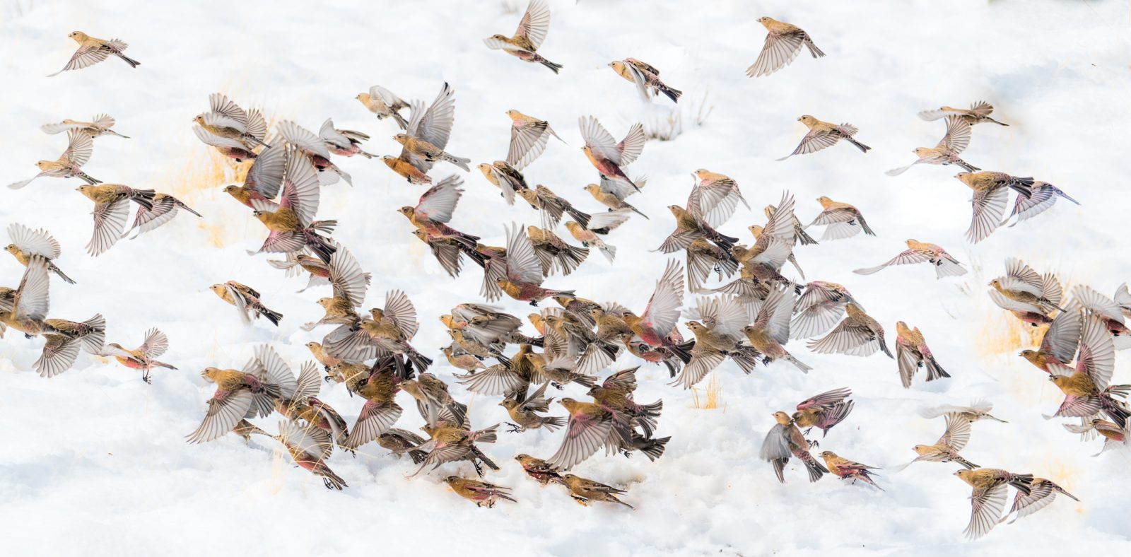 Flock of Finches