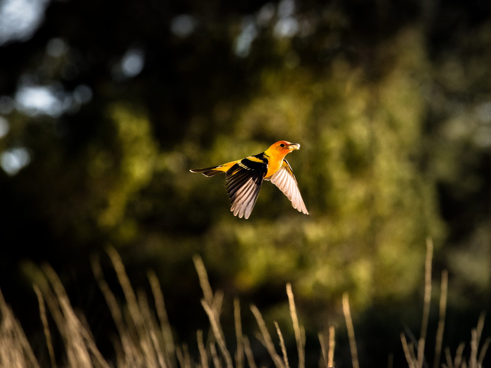 Tanager in Flight
