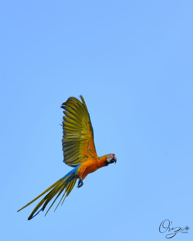 Mixed Macaw