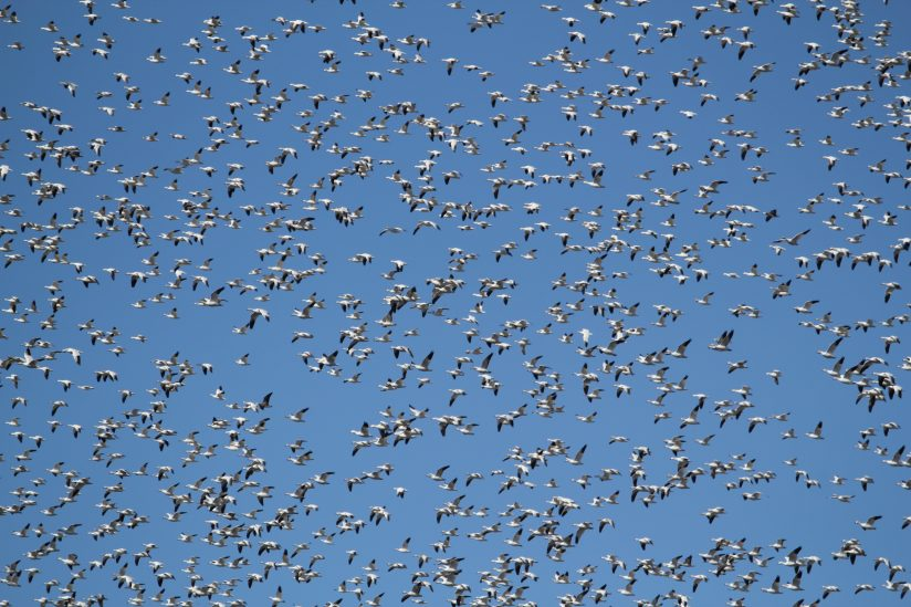 Snow geese migrating north