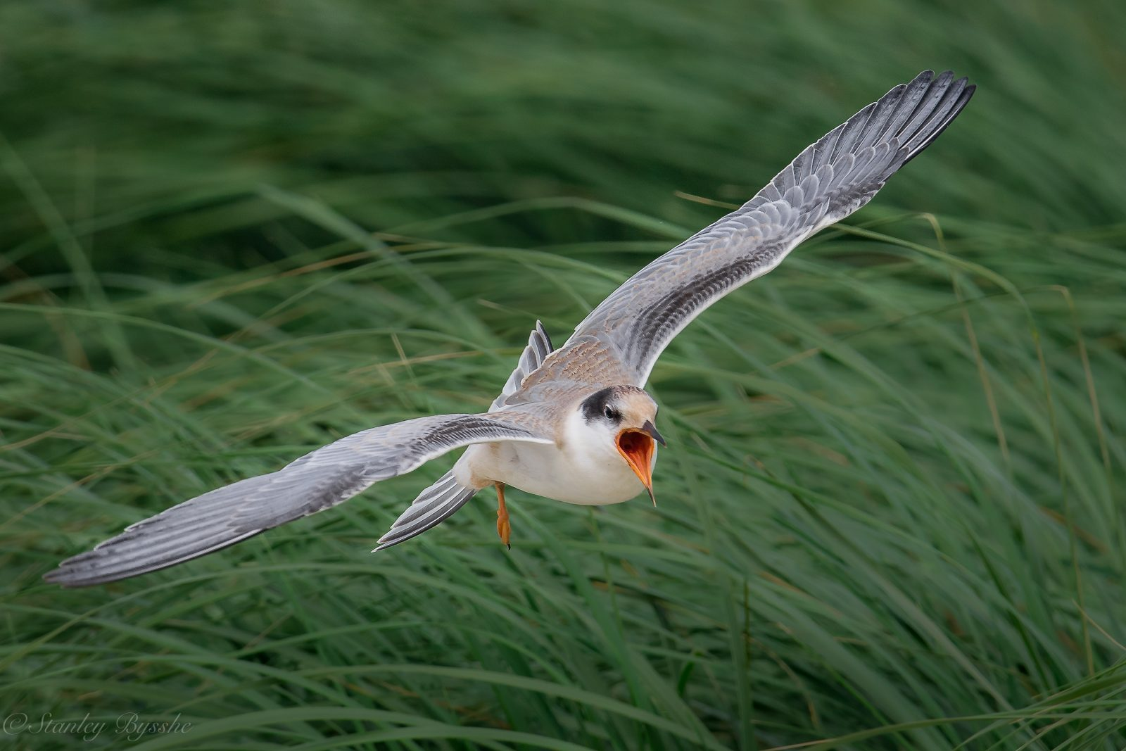 Noisy Young Tern